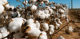 kenya cotton