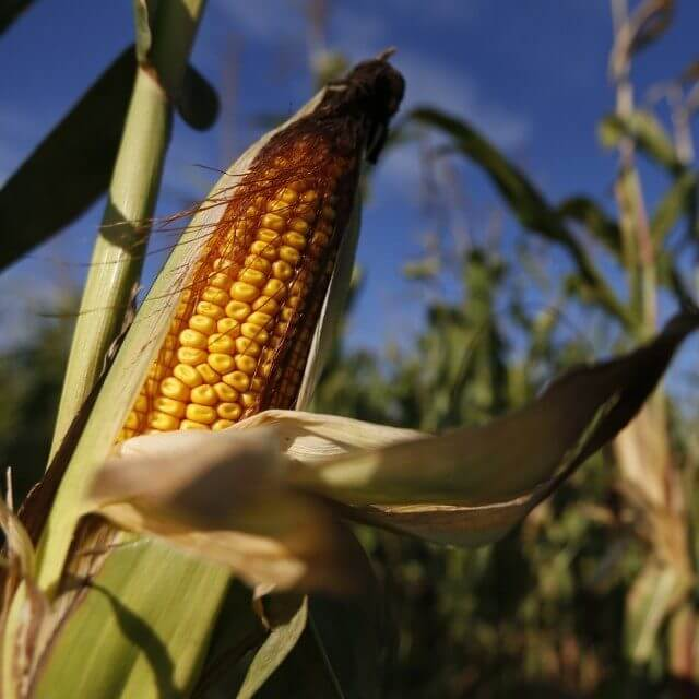 Genetically engineered natural insecticides? RNAi crops with built-in protection hit the market
