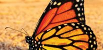 Viewpoint: Climate change, pesticides endanger monarch butterfly populations