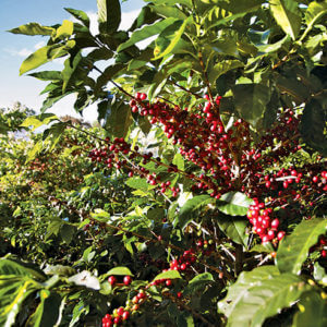 navigate a coffee plantation like a pro