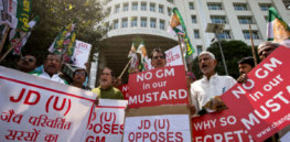Political opposition stalling approval of GMO mustard in India, scientist says
