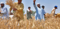 pakistani crop
