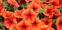 'GMO' petunias: Ridiculousness exposed and explained