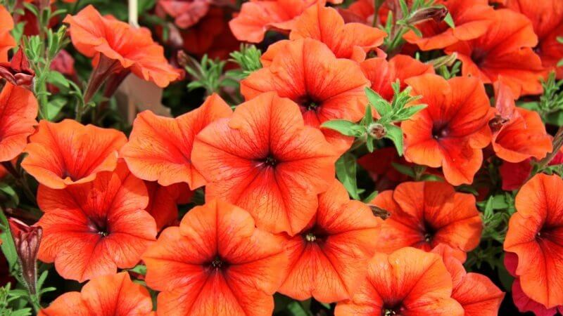 No Petunias Were Harmed In >> Gmo Petunias Ridiculousness Exposed And Explained Genetic