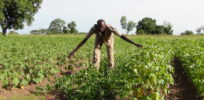 Nigeria to commercialize GMO cowpeas and cotton by 2018