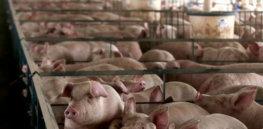 pig farm ap