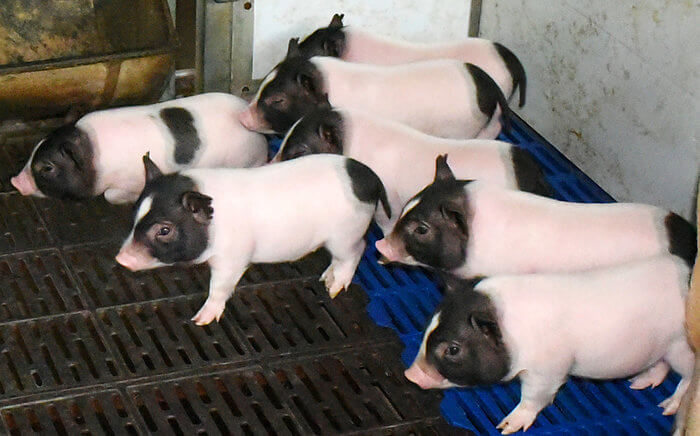 piglets custom ab ac cb fd c a f a c c s c