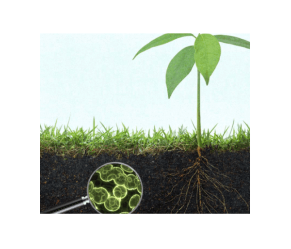 Glyphosate herbicide negatively affects soil-friendly bacteria, study shows