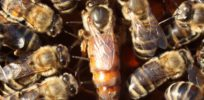 Hive coup? Why queen bees are sometimes killed by workers