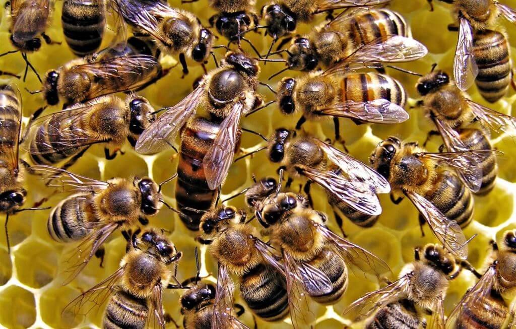 queen honey bee wallpaper e