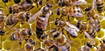 Neonicotinoid insecticides may hurt honey bee colony health by reducing genetic diversity