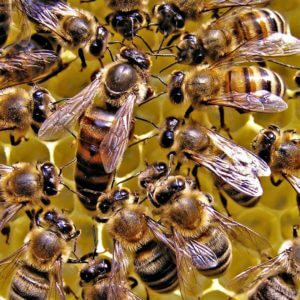queen honey bee wallpaper e