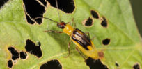 GMO that's not all GMO: Monsanto's rootworm-fighting corn seed uses RNA interference