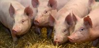 Harvard's George Church: CRISPR could give us pig-to-human organ transplants within 2 years