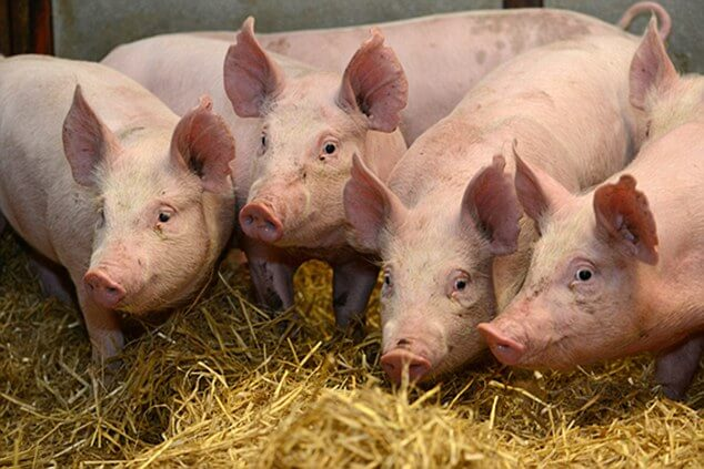 Speak Up for Pigs: Say No to USDA's Faster Slaughter Proposal | ASPCA