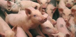 scientists shred study that says genetically modified food makes pigs sick