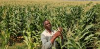 African scientists push governments to embrace GMOs to address fall armyworm crop losses