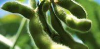 Dow to sell new variety of GMO soy seeds in US despite no import approval from Europe, China
