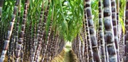 Breeding disease-resistant sugarcane now a possibility with unlocking of sugarcane genome