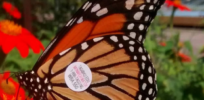 Census shows monarch butterfly population not in decline, but scientists challenge findings, blaming milkweed loss