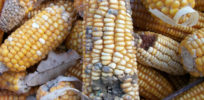 Genetic engineering and gene silencing could fight deadly crop mycotoxins—if not blocked by activists