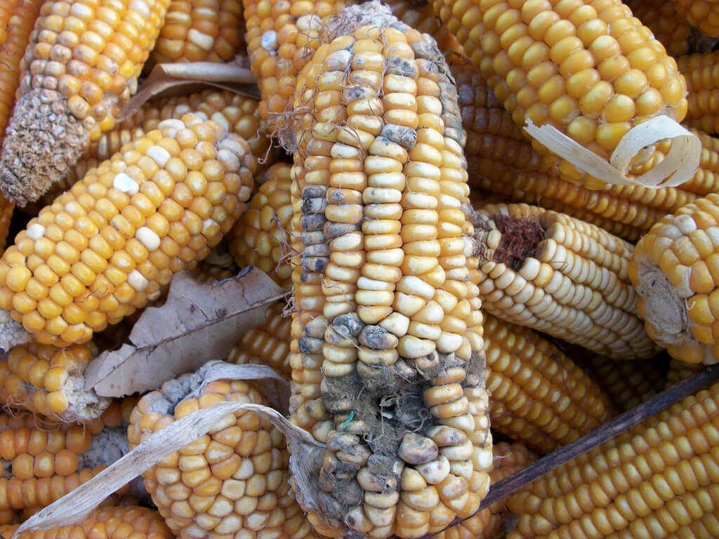 Genetic engineering and gene silencing could fight deadly crop mycotoxins—if not blocked by ...