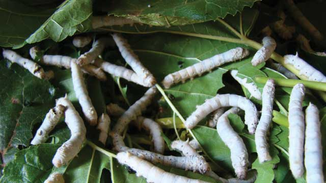 Transgenic silkworms engineered to spin tough-fiber spider silk
