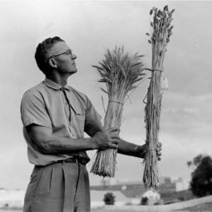vogel comparing wheat