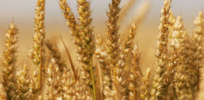 Sustainable wheat: New GMO variety could reduce need for fertilizers, preserve phosphorus