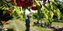 California cherry farmers look to 'gene drive' technology to kill invasive fruit flies