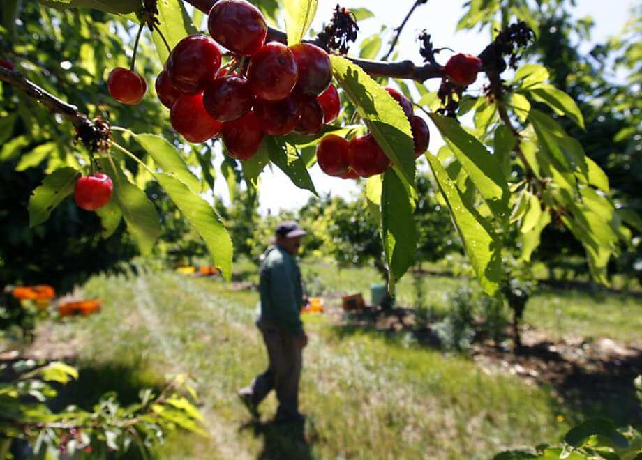 California cherry farmers look to 'gene drive' technology to