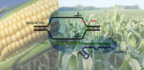 Viewpoint: If organic farmers want to promote sustainable farming they should reconsider hostility toward CRISPR-gene editing