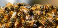 Leaked draft of EU report reveals mixed findings on neonicotinoids and bees