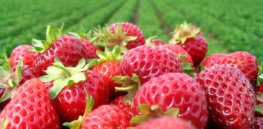 Why are strawberries so big? The genetics behind 'up-sizing' fruits and vegetables