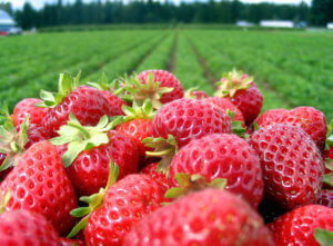 NC Strawberry Grower