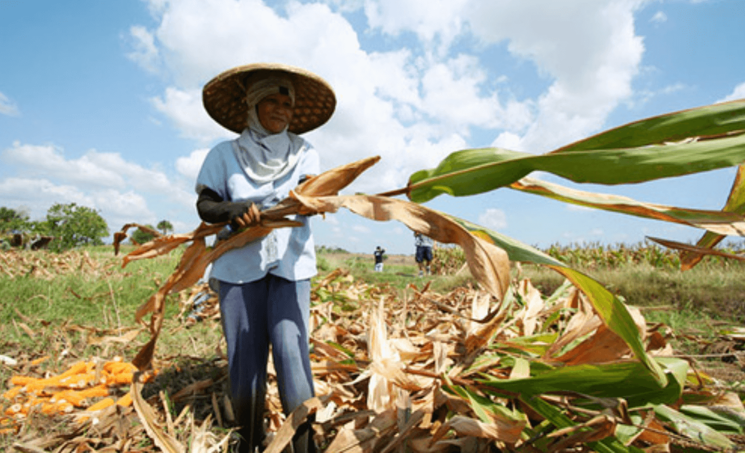 Fighting poverty with GMOs: Filipino farmers turn to insect-resistant Bt corn to boost yields, income