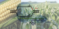 CRISPR gene-editing technology expected to accelerate crop development