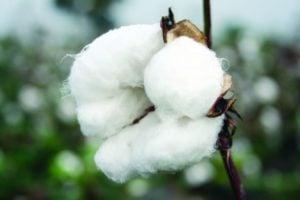 cotton x