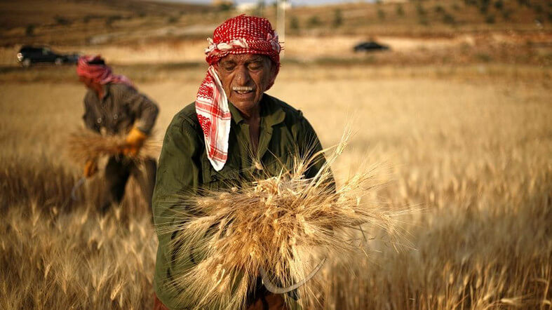 High-yield GMO wheat could help Egyptian farmers—but