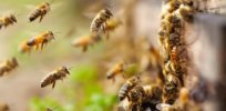 Canada proposes new limits—but no ban—on neonicotinoid insecticides to protect bees