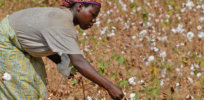 Can Burkina Faso's problems with Monsanto's GMO cotton seeds be fixed?