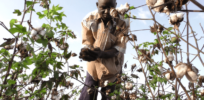 Phase out of GMO cotton in Burkina Faso taking increasing toll on farmers and industry