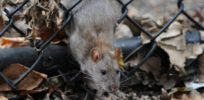 Uptown rats? Rodents in New York City have genetically adapted to different neighborhoods