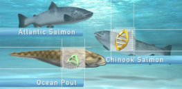Fast-growing AquaBounty salmon could pave way for more genetically modified animals