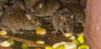 Gene drives could combat exploding population of poison-resistant subway rats and other pests