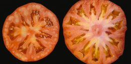CRISPR used to make bigger tomatoes without editing genes