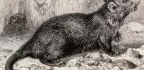 1-16-2018 black-rat-19th-century-engraving-spl