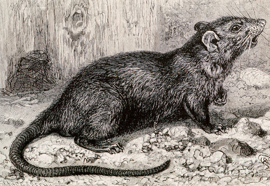 black rat th century engraving spl
