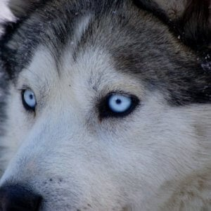 husky white blue eyes dog photograph blue eyes