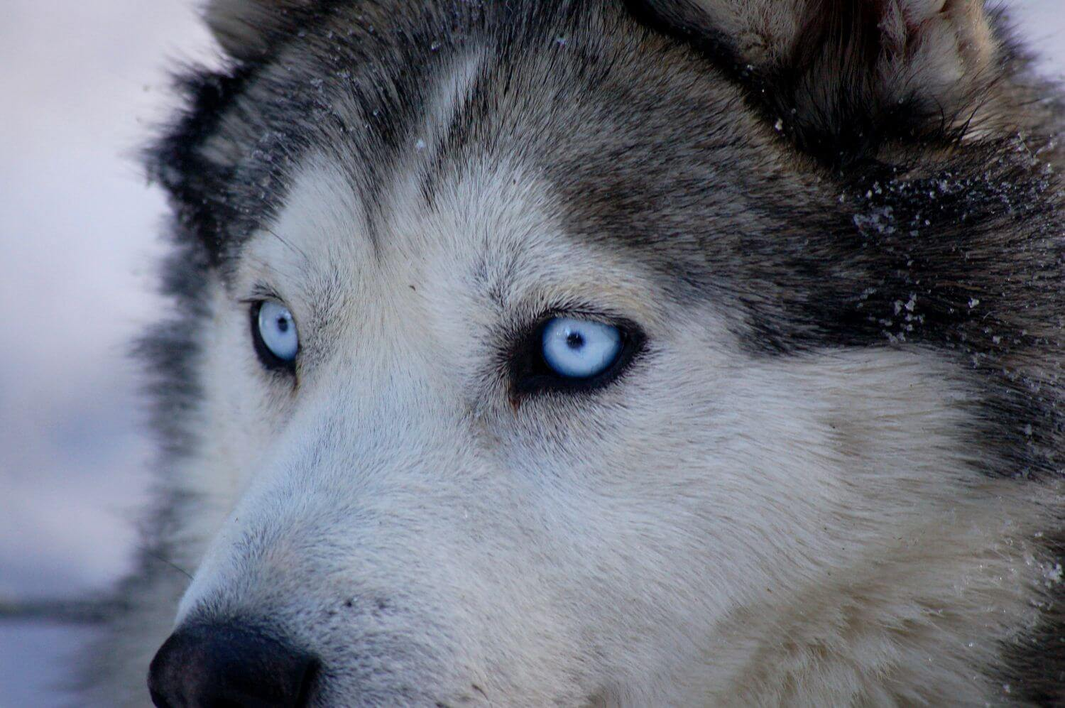 Why Huskies have blue eyes—and why it might matter for ...